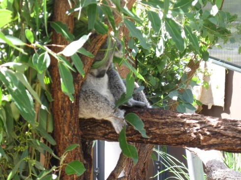 I did get to see a koala pretty close, but it was sleeping, of course.