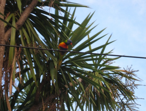 These rainbow Lorikeets are all over the place, whole flocks of them.